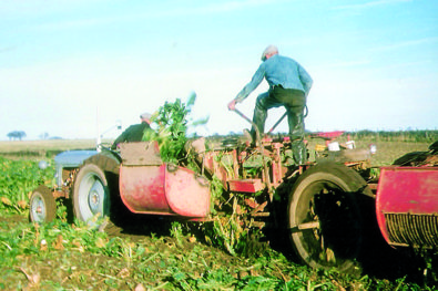 Beet farming of yesteryear in Scotland